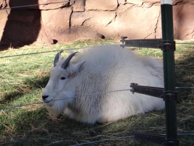 1930 8 dia Arizona Bearizona Rock MT Goat (cabra)