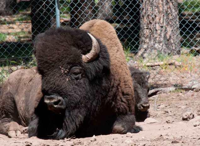 1941 8 dia Arizona Bearizona American Bison