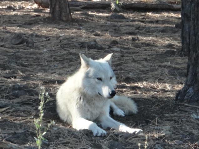 1944 8 dia Arizona Bearizona Alaskan Tundra Wolves (Lobo)
