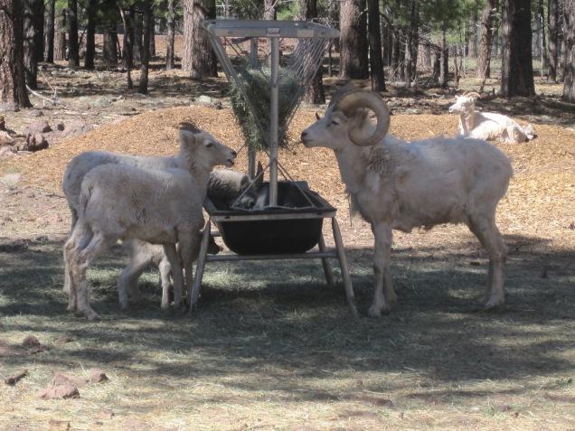 1956 8 dia Arizona Bearizona Dall Sheep (ovelha)