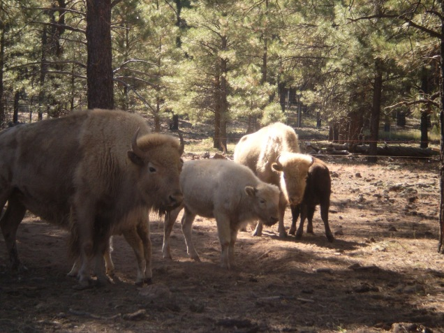 1959 8 dia Arizona Bearizona White Bison
