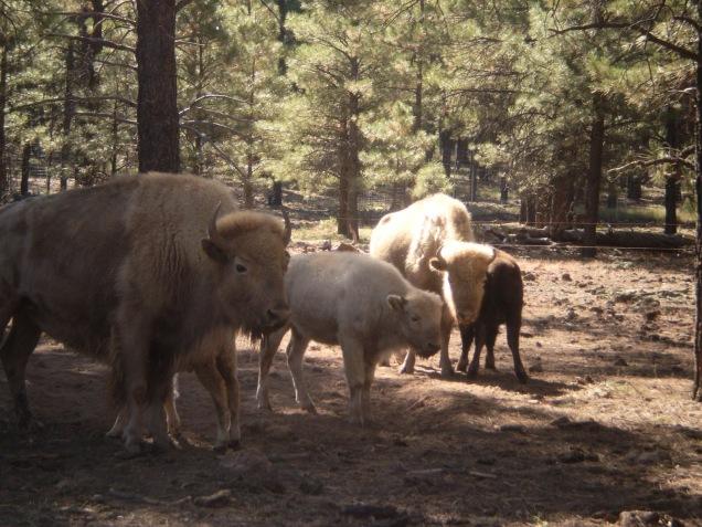 1959 8 dia Arizona Bearizona White Bison