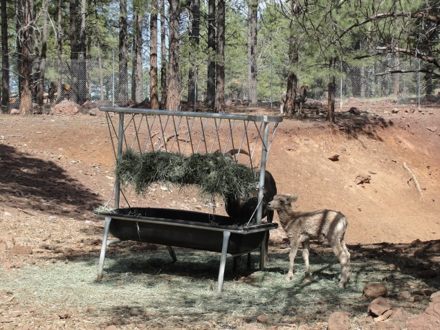 1963 8 dia Arizona Bearizona Big Horn Sheep (ovelhas)