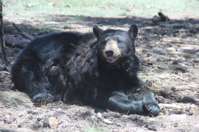 1967 8 dia Arizona Bearizona Black Bears (ursos)