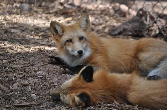 1983 8 dia Arizona Bearizona Red Fox (raposa)