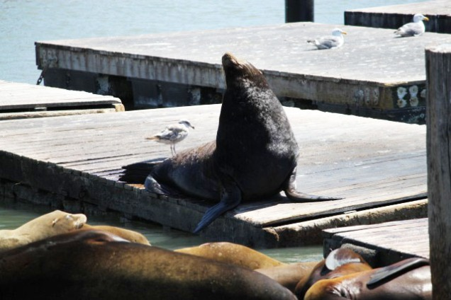 3184 11 dia San Francisco - Pier 39 (sea lion)